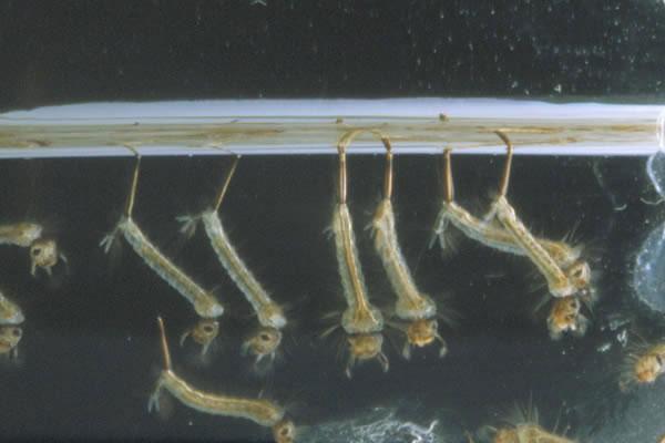 Zanzare esiste una soluzione naturale atossica ed efficace for Divora larve di zanzara