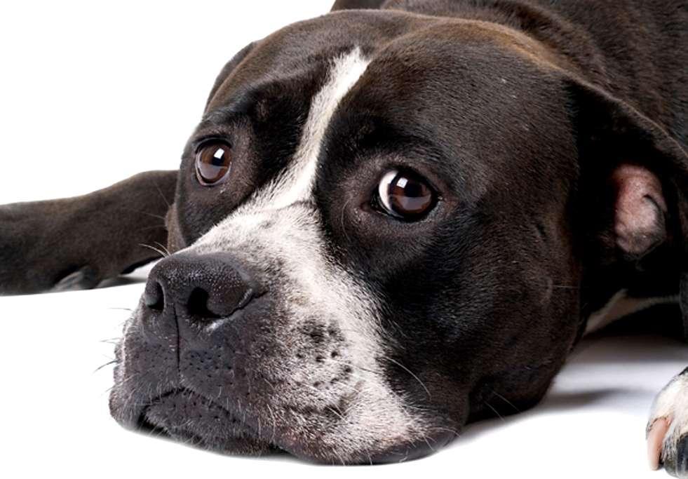 cane con cimurro